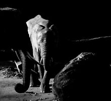 Elephant Balck and White by Mark Williams