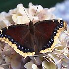 mourning cloak butterfly by Linda Makiej