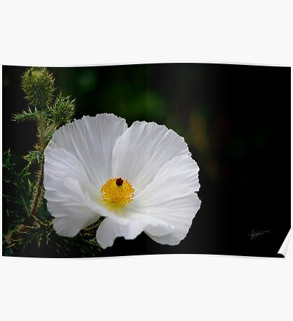 Waiting for You - Mexican Prickly Poppy Poster