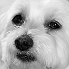 Lily - Maltese Terrier - Black & White by Nikki25