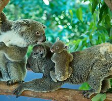 Koala's by fnqphotography