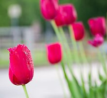 RAIN SOAKED TULIPS by GDhillon
