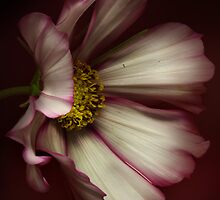 The portrait of a Cosmos Flower by EbyArts