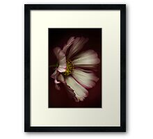 The portrait of a Cosmos Flower Framed Print