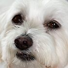 Lily in Colour - Maltese Terrier by Nikki25