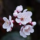 Cherry Blossom - Ocean Grove Victoria by Graeme Buckland