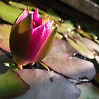 Water Lily by pantherart