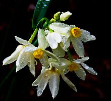 Weeping Narcissus by Elaine Teague