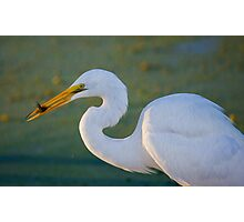 Great Egret and Black Fish Photographic Print