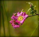 WILD ROSES by Sandy Stewart