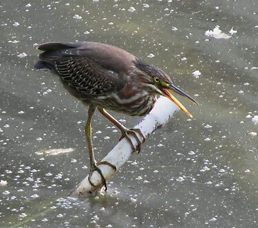Barking Green Heron by Alex Call