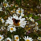 Butterfly and Daisies by Jess Meacham