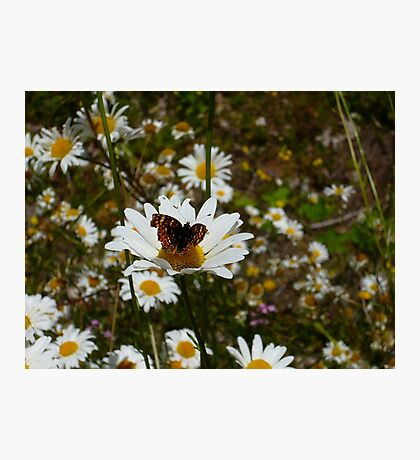 Butterfly and Daisies Photographic Print