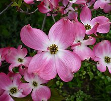 Dogwood by Jess Meacham