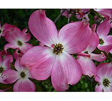 Dogwood 2 Photographic Print
