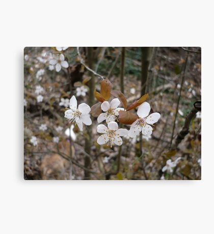 Wild Cherry Blossoms Canvas Print