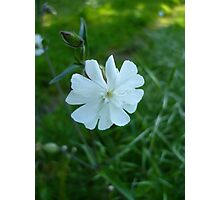 White Campion Photographic Print
