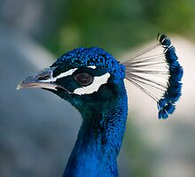 Peacock Profile by Gary Chapple
