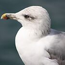 Serious Gull by dsimon