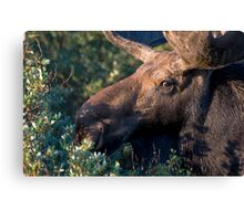 Moose portrait Canvas Print