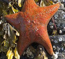 Orange Starfish-Case by Paul Wolf