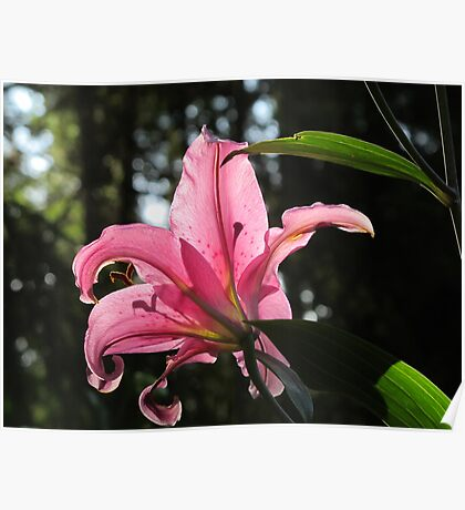A Pink Lily, Backlit Poster