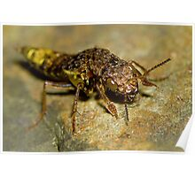 Gold & Brown Rove Beetle Poster