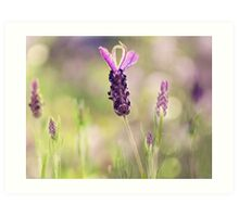 lavender.. Art Print