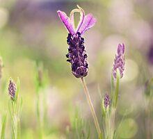 lavender.. by Michelle McMahon