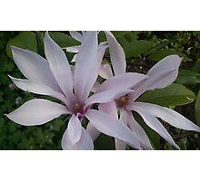 Pink Magnolias Photographic Print