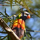 Rainbow Lorikeet by TheaShutterbug