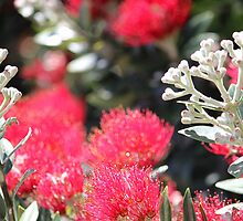 Pohutakawa Flowers, New Zealand by HJRobertson