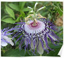 Passion Flower, Passiflora Poster