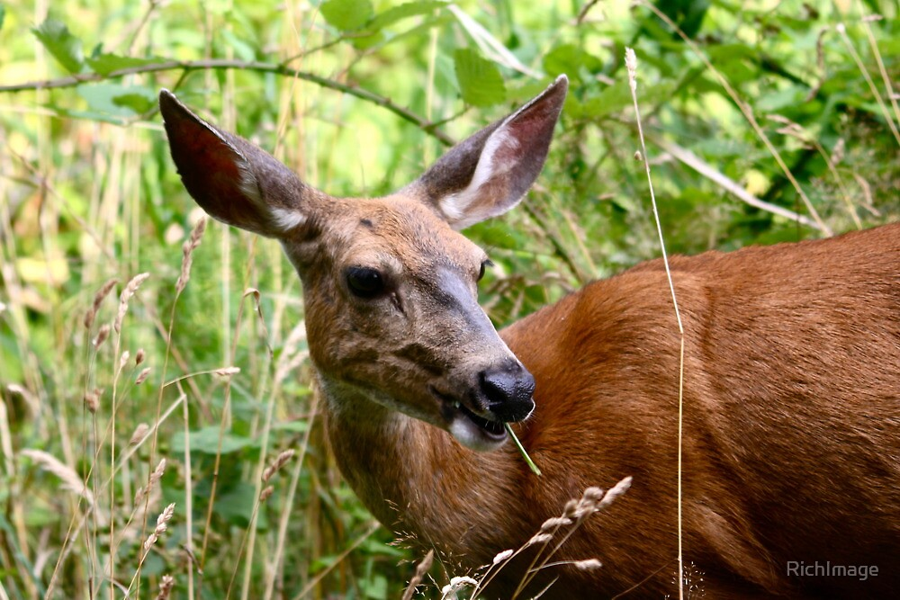 Doe...A Deer by RichImage