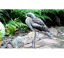 The 'Bush Thick-knee' native N.T. & nth-ea. Queensland. Photographic Print