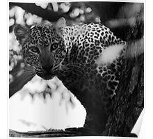 Animalia III - African Leopard Poster