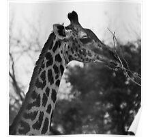 Animalia IV - Thornicroft Giraffe Poster