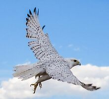 Gyr Falcon in flight by Linda Sparks
