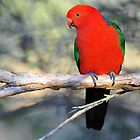 Male King Parrot. Cedar Creek, Qld, Australia. (2) by Ralph de Zilva