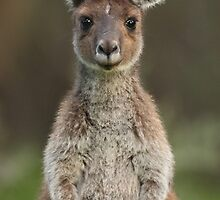 Young Kangaroo, native Australian marsupial by Georgina Steytler
