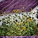 Black Eyed Susans by Polly Peacock