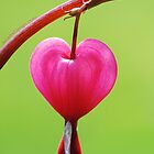 Bleeding Heart by Janette  Dengo