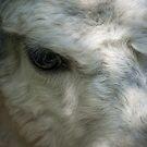 Lama by Vac1