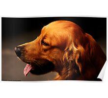 Setter dog in Bergamo, Italy  Poster