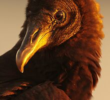 Golden Vulture by William C. Gladish