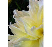 Dahlia yellow sunshine Photographic Print