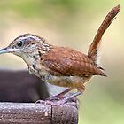 Carolina Wren on an August Afternoon by Bonnie T.  Barry