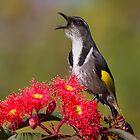 Singing Honeyeater by Ian Robertson