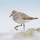 White-rumped Sandpiper. by Daniel Cadieux