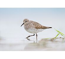 White-rumped Sandpiper. Photographic Print